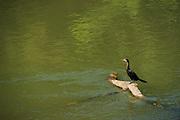 Little cormorant (Phalacrocorax niger)<br /> Kaziranga National Park<br /> Assam<br /> North East India<br /> UNESCO World Heritage Site