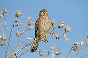 Common kestrel (Falco tinnunculus) perched on a branch. This bird of prey is a member of the falcon (Falconidae) family. It is widespread in Europe, Asia, and Africa, and is sometimes found on the east coast of North America. Photographed in