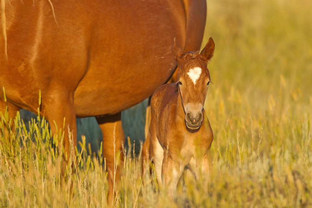 A feisty newborn colt sticks close to his mother, Totem, who protects him from the dangers of life in the herd.