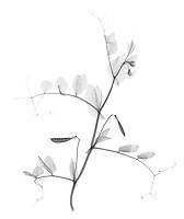 X-ray image of a garden pea plant (black on white) by Jim Wehtje, specialist in x-ray art and design images.