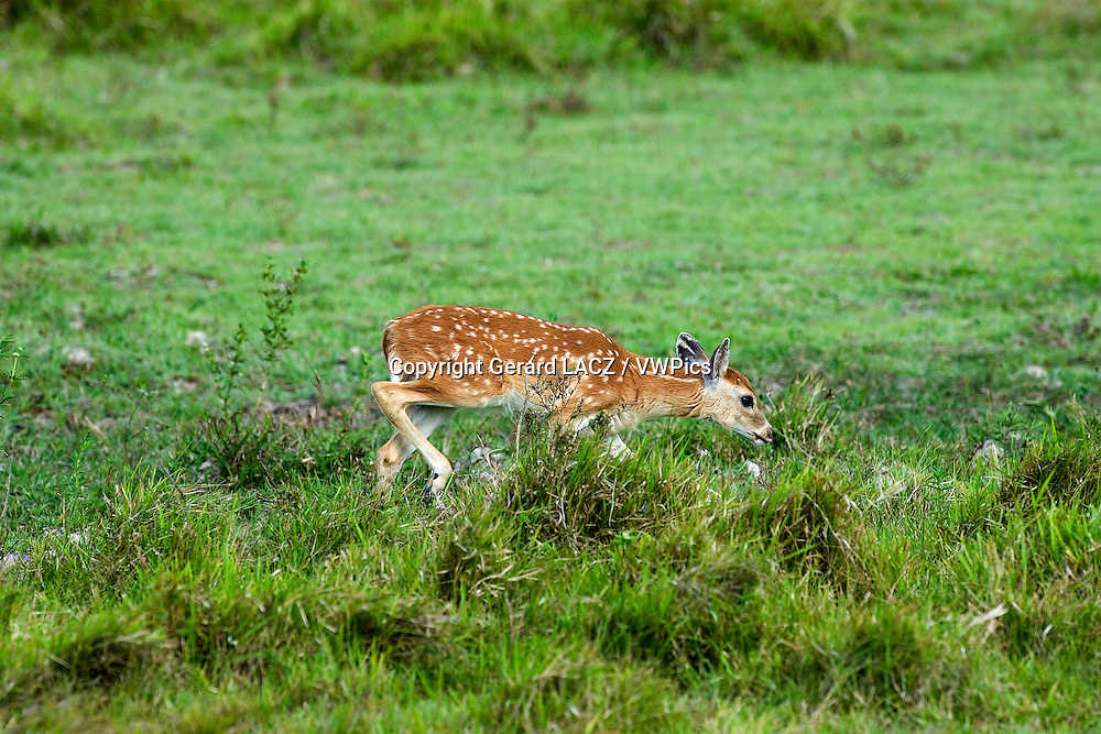 White-Tailed Deer, odocoileus virginianus, Fawn, Los Lianos in Venezuela