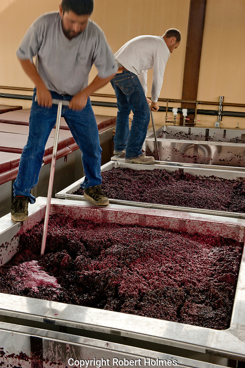 Golden Eye pinot noir harvest, Anderson Valley, Mendocino, California