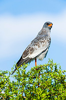 Adult Pale Chanting Goshawk, Addo Elephant National Park, Eastern Cape, South Africa