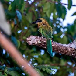 """""""Juruva-verde (Baryphthengus ruficapillus) fotografado em Linhares, Espírito Santo -  Sudeste do Brasil. Bioma Mata Atlântica. Registro feito em 2015.<br /> <br /> <br /> <br /> ENGLISH: Rufous-capped Motmot photographed in Linhares, Espírito Santo - Southeast of Brazil. Atlantic Forest Biome. Picture made in 2015."""""""