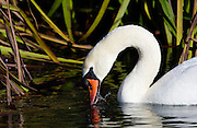 Mute swan dabbling on the River Windrush in Oxfordshire, England