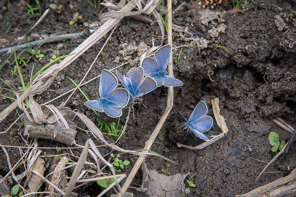 A super-energetic group of silvery blues, drink up water quickly after a summer rain in the hot, arid sagebrush country of Kittitas County, Washington.