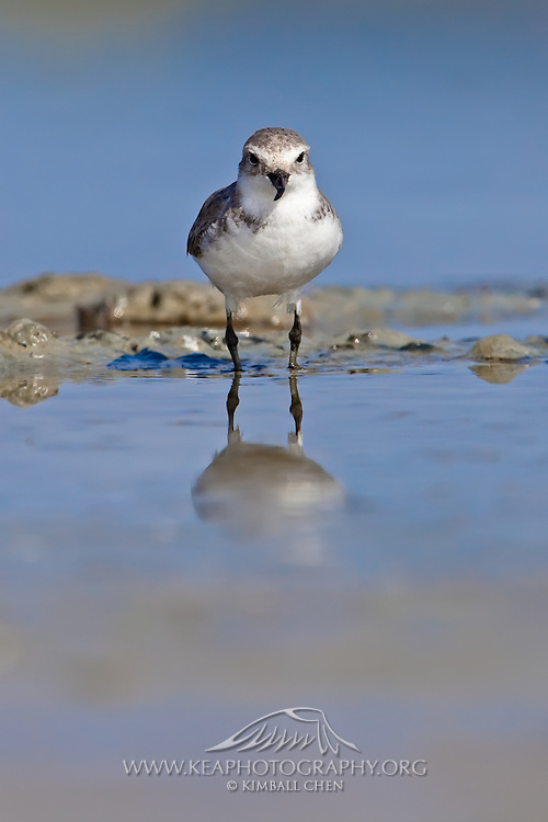 Wrybill, (Anarhynchus frontalis), New Zealand