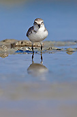Wrybill Pictures - Photos