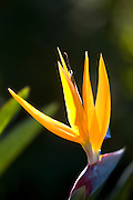 Belo Horizonte_MG, Brasil...Detalhe de uma estrelicia(Strelitzia reginae) ou ave do paraiso...Detail of estrelicia(Strelitzia reginae) or ave do paraiso...Foto: JOAO MARCOS ROSA /  NITRO