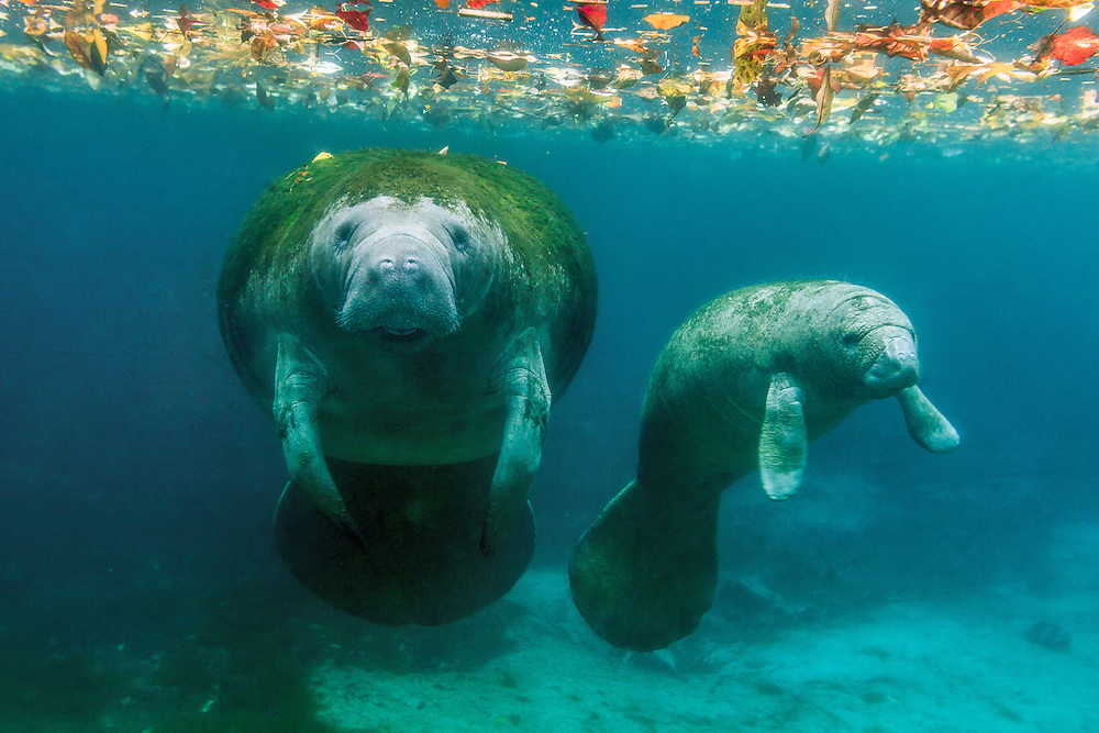 Mother manatee with her calf in Crystal River, Florida