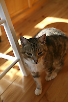 Senior pet tabby cat standing on wooden kitchen floor