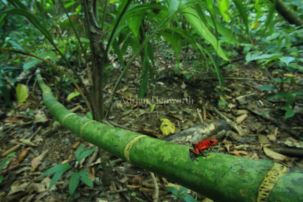Blue jeans poison dart frog (Oophaga pumilio) in lowland rainforest. Cerro de Tortuguero, Costa Rica.
