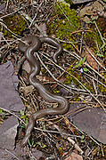 Northern rubber boa on a cliffside above the Kootenai River in early spring. Kootenai River Valley in the Purcell Mountains, northwest Montana.