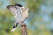 White-winged Dove, Zenaida asiatica , Santa Cruz County, Arizona