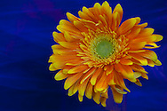 Orange gerbera daisy with blue background