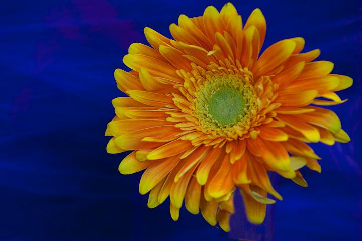 Orange gerbera daisy with blue background