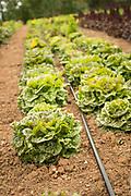 Frank Morton's jester lettuce
