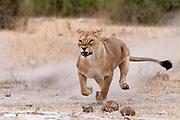 A lioness running, Panthera leo, Chobe National Park, Botswana.