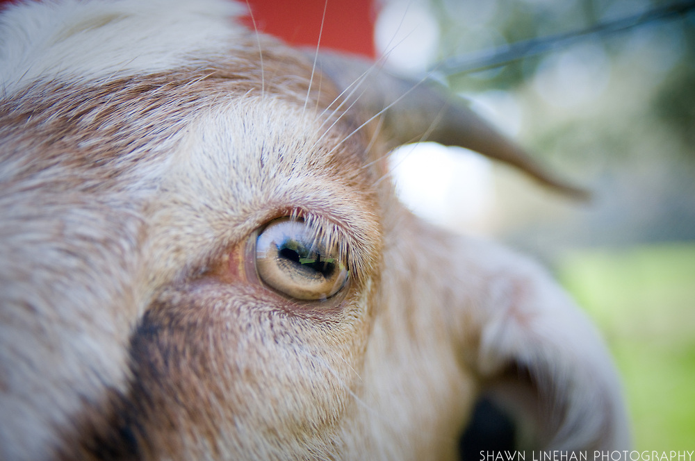 A detail pohto of a grass fed goat who lives on a small backyard farm in Portland, Ore. It is raised for milk and meat.