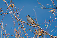 This common sparrow found in most parts of the United States, Canada and Mexico is usually found on the West Coast of North America. This particular one was found in a screwbean mesquite tree on a chilly yet sunny spring morning in Socorro County in New Mexico.