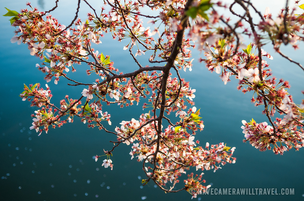 A branch of cherry blossoms overhangs the waters of the Tidal Basin and gradually drops petals on the water's surface. The Yoshino Cherry Blossom trees lining the Tidal Basin in Washington DC bloom each early spring. Some of the original trees from the original planting 100 years ago (in 2012) are still alive and flowering. Because of heatwave conditions extending across much of the North American continent and an unusually warm winter in the Washington DC region, the 2012 peak bloom came earlier than usual.