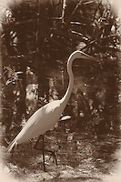 Great Egret in a Mangrove Swamp at Ft. Desoto Park in St. Petersburg, Florida. Image taken with a Nikon D3x and 70-300 mm VR lens (ISO 400, 100 mm, f/6.3, 1/320 sec). Image converted to Sepia with Nik Silver Efex Pro 2.