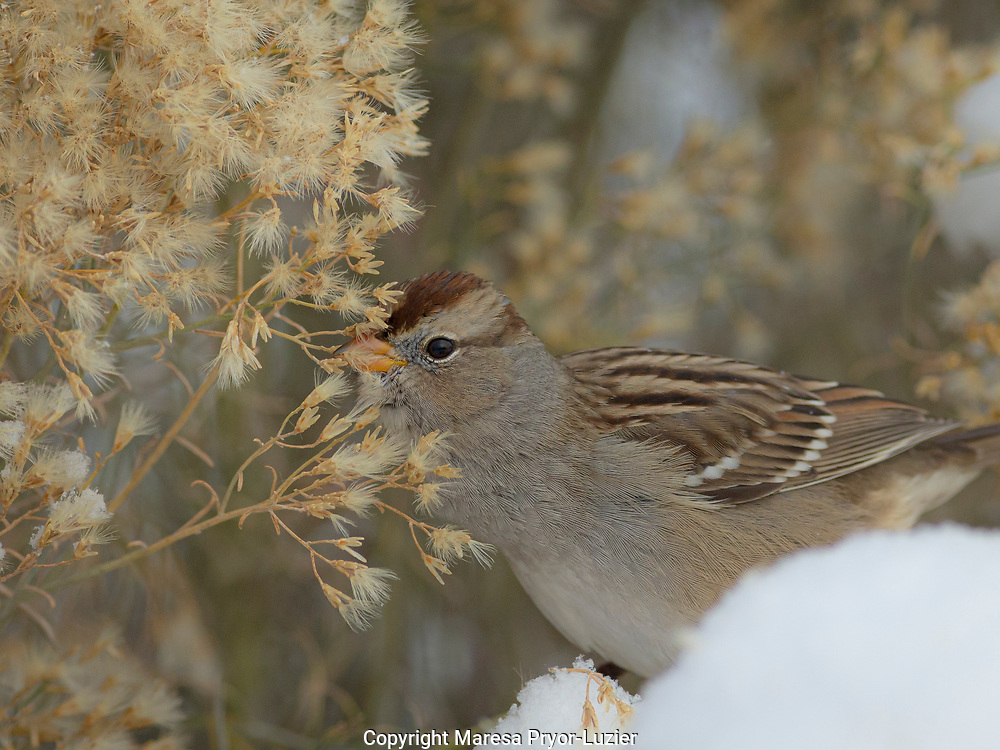 Imm. White-crowned sparrow, Zonotrichia leucophrys, feeding on seeds during winter storm,  Bosque del Apache, NM