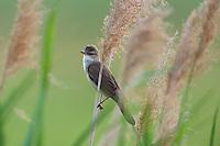 Great Reed Warbler, Acrocephalus arundinaceus, Eastern Slowakia, Europe, Drosselrohrsänger, Acrocephalus arundinaceus, Slowakei, Europa