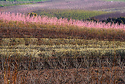Israel Upper Galilee pink peach blossoms on peach trees in a plantation