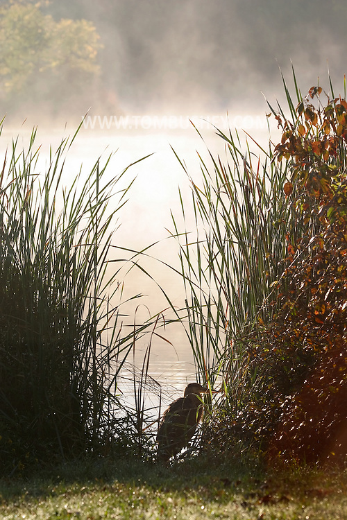 Middletown, N.Y. - A heron stands in the tall plants on the edge of the lake at Fancher Davidge Park as the sun burns the mist off the lake on Sept. 29, 2006.
