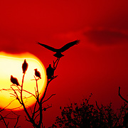 Crested caracaras and turkey vultures roost on tree limbs at sunset in South Texas.