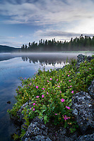 The rocky shoreline of Silver Lake in Harriman State Park in Northeastern Idaho lights up with wildflowers in the early morning sunlight as the fog lifts off from the water on a warm Summer morning.