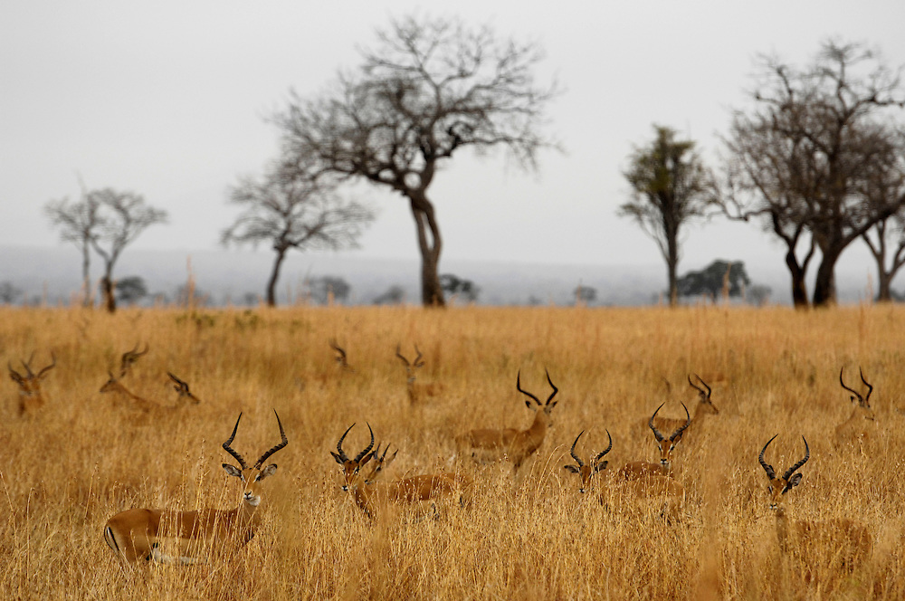 MIKUMI, TANZANIA - 13-07-27 -  Impala in Mikumi National Park, Tanzania on July 27, 2013.  Photo by Daniel Hayduk