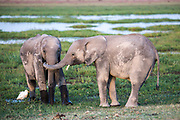 Elephant calves are photographed in Amboselli National Park in Kenya. 1/24/2017 IFAW/Julia Cumes