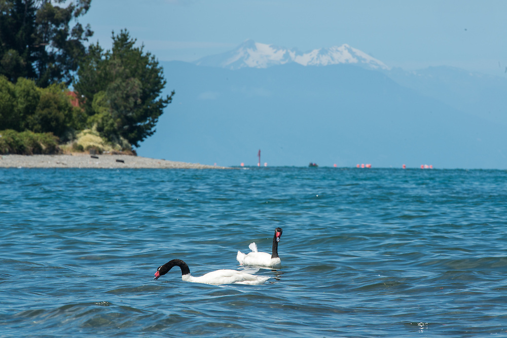 Black-Necked swans with Mountains in Background