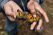 A forest guardian holds dead monarch butterflies scattered on the forest floor in their over-winter site in the Cerro Pelon Monarch Butterfly Preserve near Macheros, Michoacan, Mexico. The monarch butterfly migration is a phenomenon across North America, where the butterflies migrates each autumn to overwintering sites in Central Mexico.