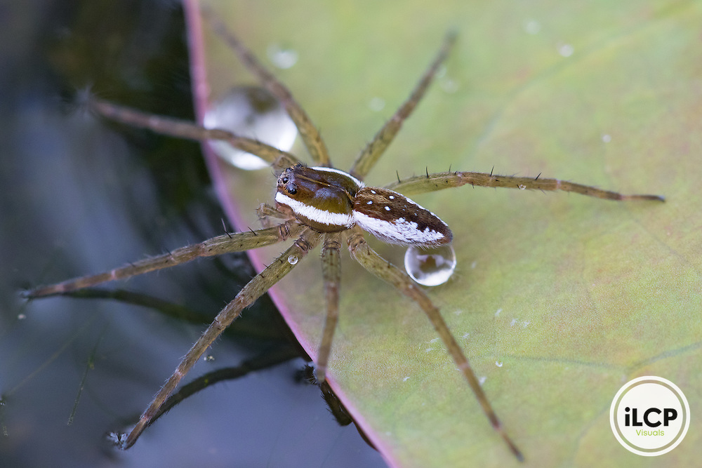 Six-spotted fishing spider (Dolomedes triton) at Kenilworth Aquatic Gardens, Washington DC.