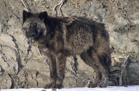 Gray Wolf, (Canis lupus) Portrait. On bank of river. Rocky mountains. Montana. Captive Animal.