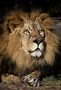 Lion; Panthera leo; male; zoo