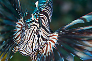 Lionfish are predatory feeding on small fish which they engulf with their exceptionally large mouths.  Once a prey fish is sighted, the lionfish will wave its feathery arms as it approaches its victim.  When within range the lionfish will spring forward, opening it mouth whilst at the same time sucking in water.  The suction and movement is what captures the prey