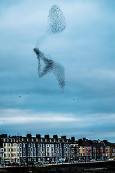© Licensed to London News Pictures. 24/10/2018. Aberystwyth, UK. Thousands of tiny starlings perform elegant and entrancing aerial balletic murmurations in the sky over Aberystwyth. Aberystwyth is one of the few urban roosts in the country and draws people from all over the UK to witness the nightly displays. Photo credit: Keith Morris/LNP