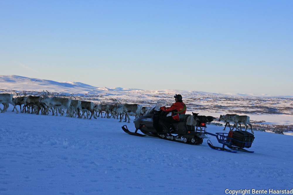 Going to summer pastures. Vårflytting i Saanti Sijte (Essand reinbeitedistrikt).