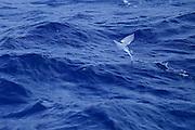 Fourwing Flying Fish (Hirundichthys affinis) Sargasso Sea, Bermuda