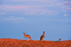 Red kangaroos  (Macropus rufus) with dramatic desert sky in warm light,  Sturt Stony Desert,  Australia