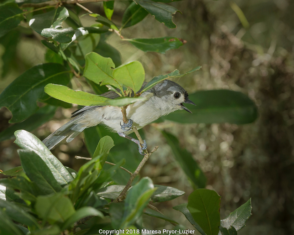 Tufted Titmouse, Baeolophus bicolor, in live oak tree, Florida, wild