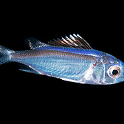 A juvenile squirrelfish (Sargocentron sp.) encountered during blackwater diving at night over deep water in Palau. Approximately 3cm in length.