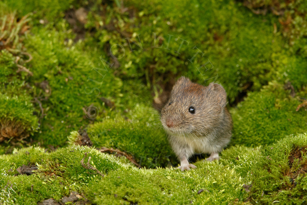 Bank Vole (Clethrionomys glareolus) adult emerging through hole in mossy bank, South Norfolk, UK. October.
