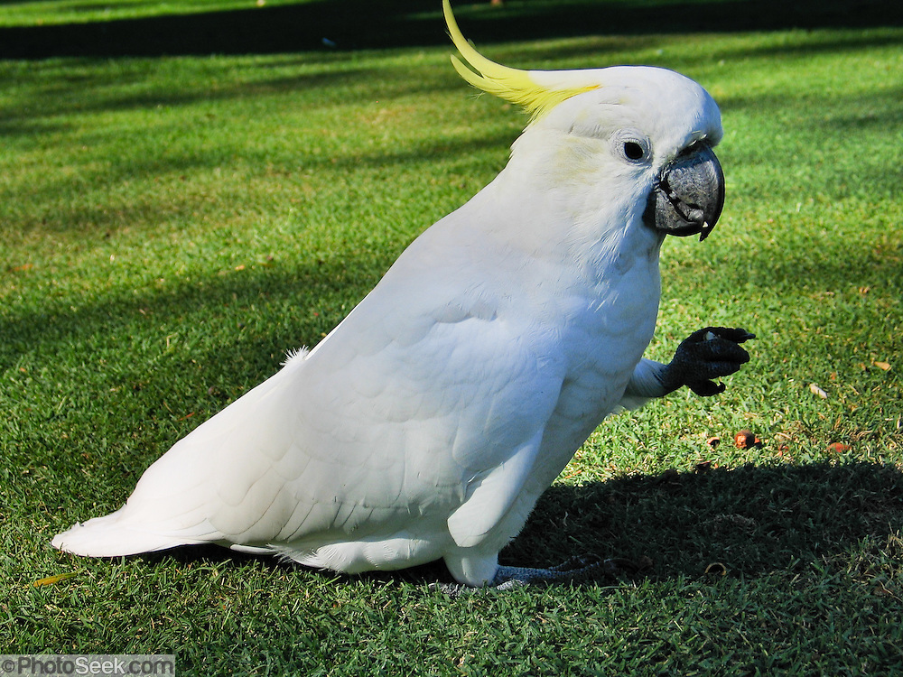 A wild Sulphur-crested Cockatoo (Cacatua galerita) forages in the Royal Botanic Garden, Sydney, New South Wales (NSW), Australia. This large white cockatoo is found in wooded habitats in Australia (widely in the north and east but not in inland areas with few trees) and in New Guinea (except for highlands). They are numerous in suburban Adelaide, Melbourne, Canberra, Sydney, and Brisbane. Outside of their natural range, they have been introduced to Perth, Singapore, Palau, and New Zealand. They live 20-40 years in the wild and up to 70 years in captivity. They are considered a pest in some areas and are demanding as pets, being very loud and having a natural desire to chew wood or hard materials.