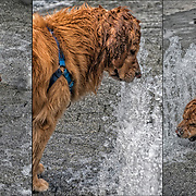 Three photographs of Golden Retriever playing in water fountains.<br />