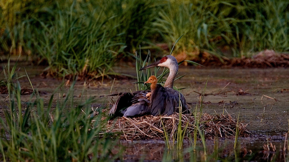 Sandhill Cranes chicks sit on the back of their mother who is on the nest.  They nest in wetlands to have warning from predators.  Photo by Tom Lynn